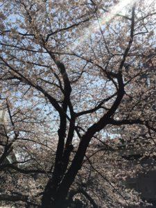 江戸川橋桜Ⅱ